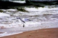 Mewa nad morzem